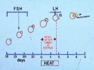 Sơ đồ phân tiết FSH và LH trên heo nái.