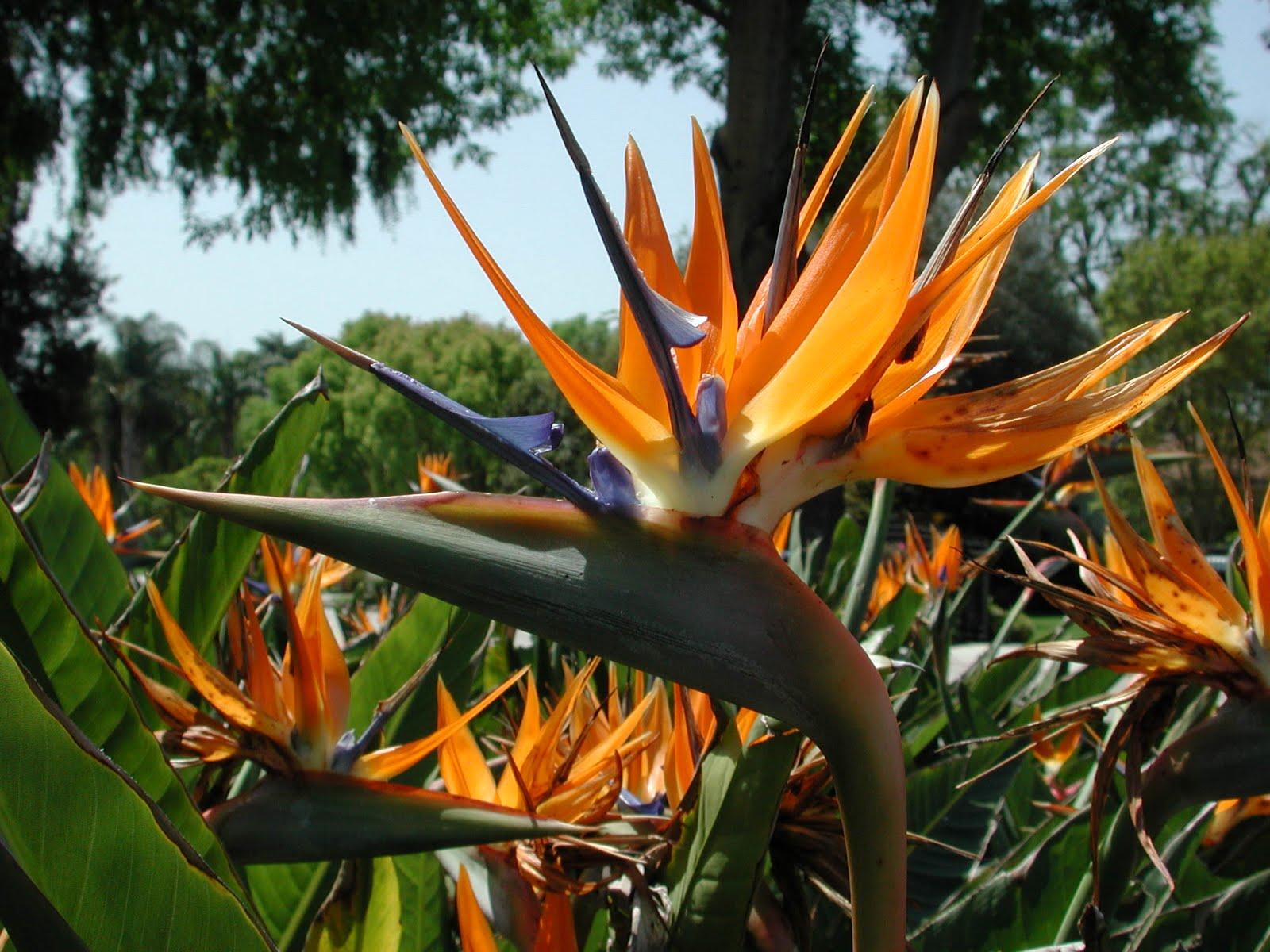 Estrelicias plantas ex ticas for Plantas exoticas para jardin