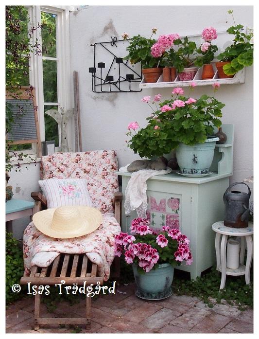 Pelargonerna i växthuset
