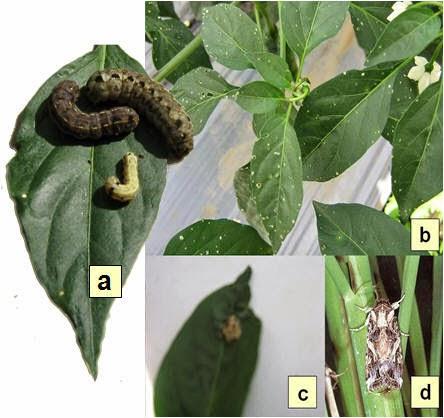 macam-macam penyakit tumbuhan, penyakit tumbuhan akibat virus, pengertian hama, pengertian gulma, jenis gulma, contoh penyakit tanaman