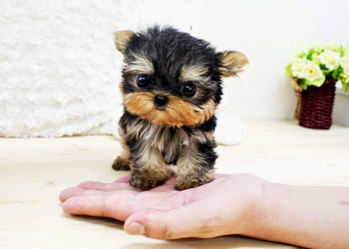 Buy Yorkie Puppies For Sale From The Reputed Stores Only Cute