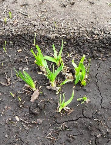 10.05 первая зелень лук-слизун