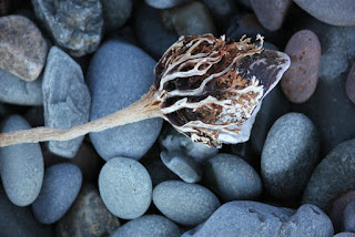 clam trapped in seaweed roots.