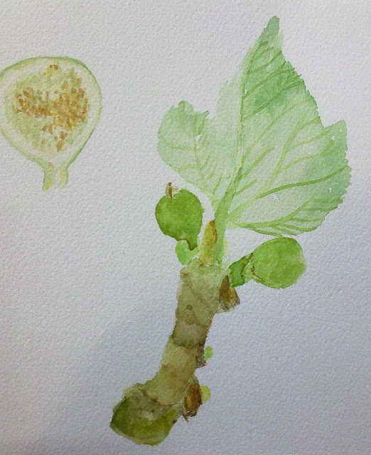 higuera y frutos acuarela