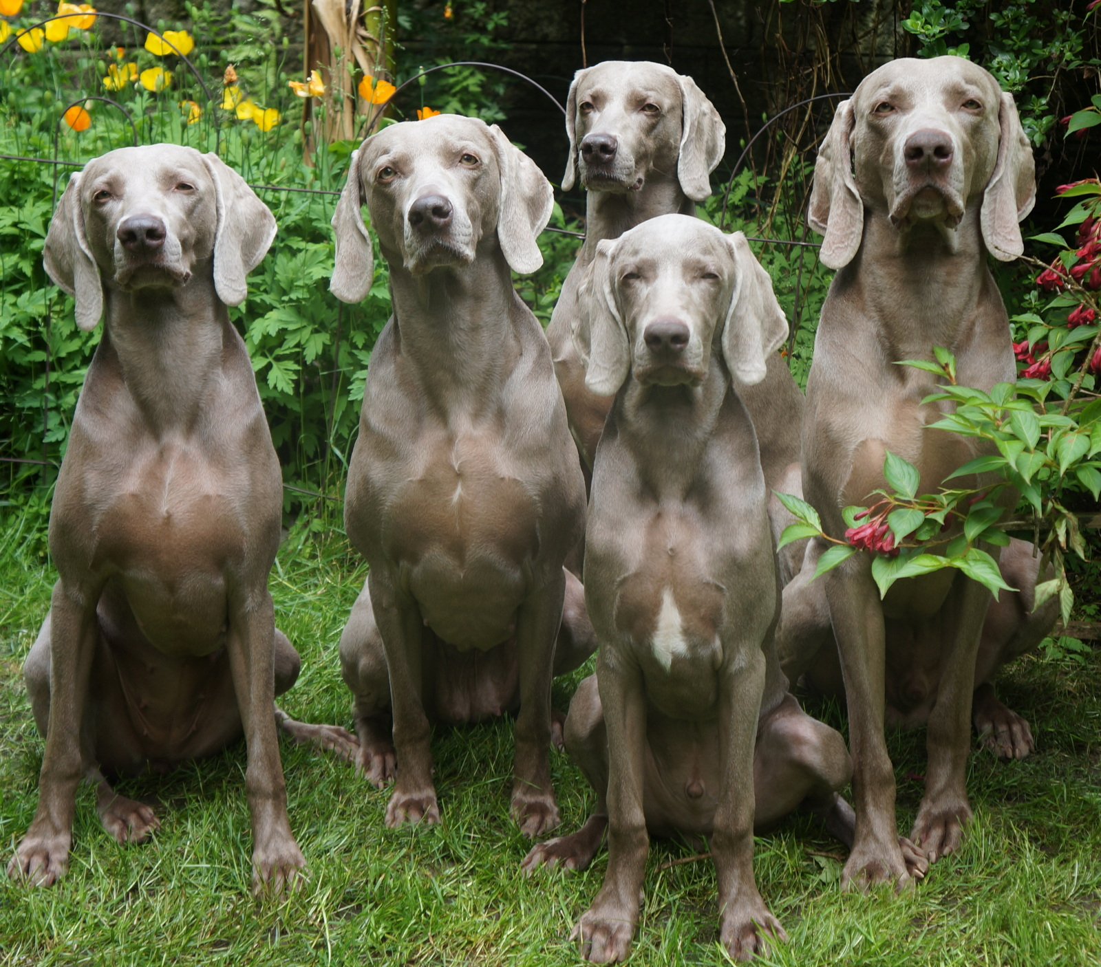 Weimaraner Puppies And Dog Pictures Pictures Of Animals 2016