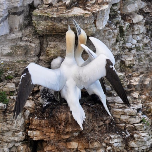 adult gannets on cliff edge nest