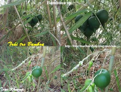 Trái, Cây Tre Bambou - Click photo