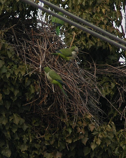 Edgewater monk parakeets