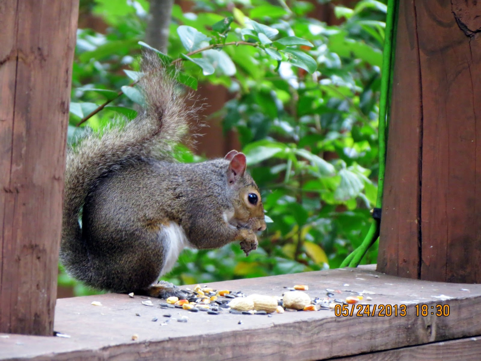 How To Keep Rats Away From Bird Feeders Image Gallery Rats Away Easy Tips For A Squirrel Proof