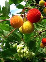 %CE%BA%CE%BF%CF%85%CE%BC%CE%B1%CF%81%CE%B9%CE%AC! Κούμαρο, ένα άγριο φρούτο της Ελληνικής χλωρίδας με ιαματικές ιδιότητες.