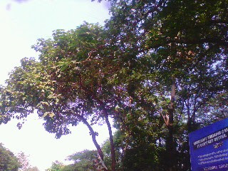 Image of shivan tree