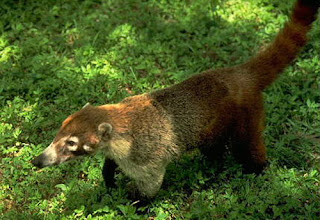 Ring Tailed Coati Populations