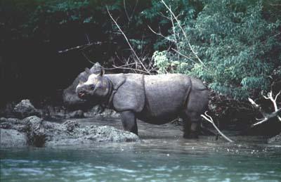 Javan Rhino/Javanese Rhinoceros (Rhinoceros sondaicus)