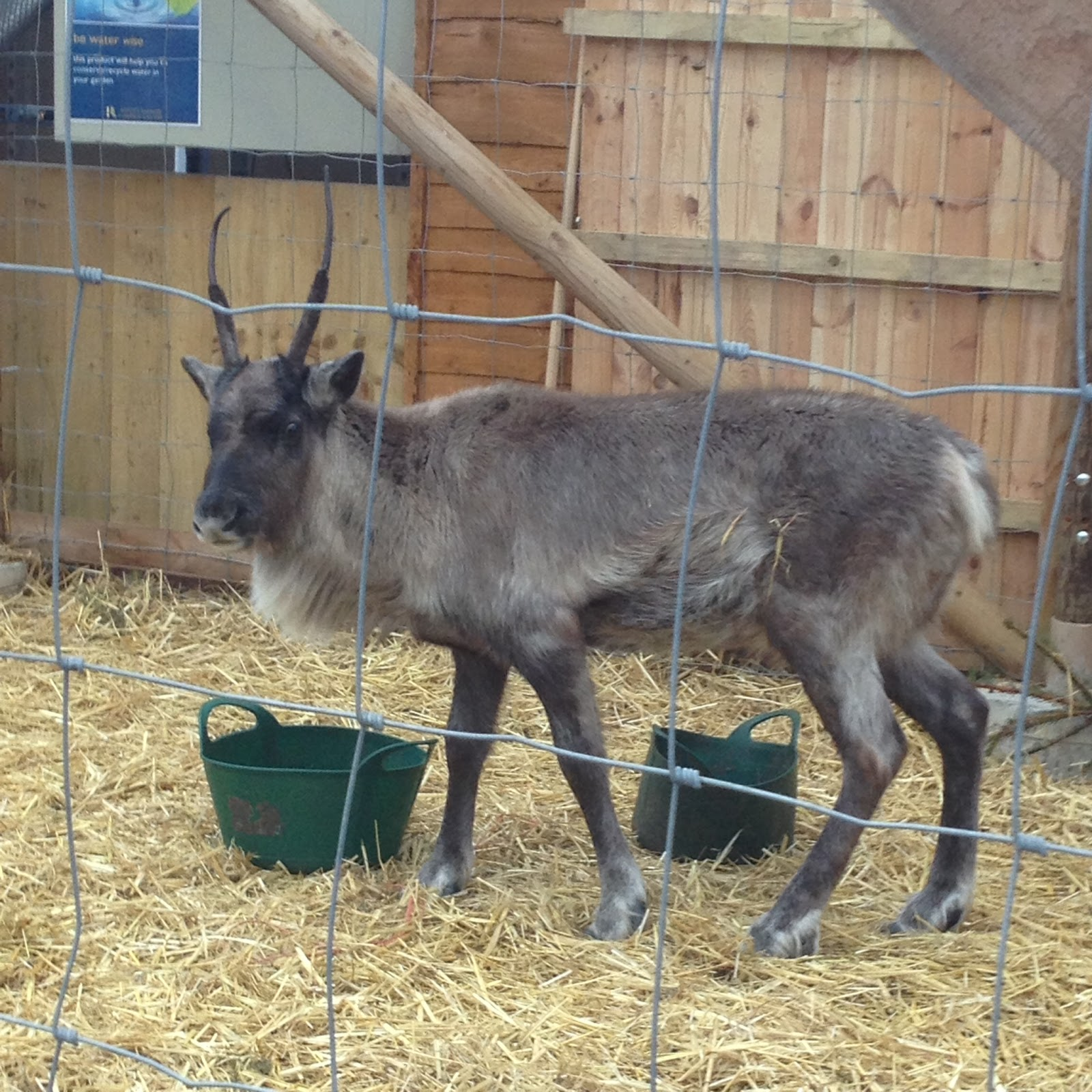ruxley manor garden centre reindeer