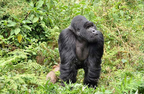 akagera, 1 day budongo forest, 1 day lake mburo, 1 day tour, 1 day vishing, 10 days Uganda wildlife, 11 Days Uganda Gorilla Trekking, 12 Days Uganda Gorilla Tour, 13 days all inclusive tour, 2 days Akagera, 2 days chimpanzee, 2 days gorilla tracking,2days Lake Mburo national park tour, 2 days queen elizabeth tour, 2 days tour, 2 days tour kibale national park, 2days tour uganda, 2 times, 2015 conservation tariff, 3 days gorilla tracking, 3 days queen Elizabeth national park,3 days safari, 3 days tour kibale national park, 3 days tour lake mburo, 3 days Uganda tour, 3days wildlife safari, 4 days akagera national park, 4