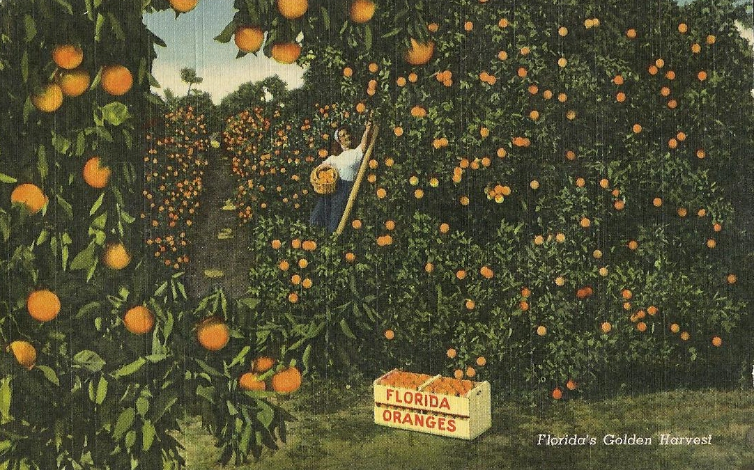 Vintage Travel Postcards Florida Citrus