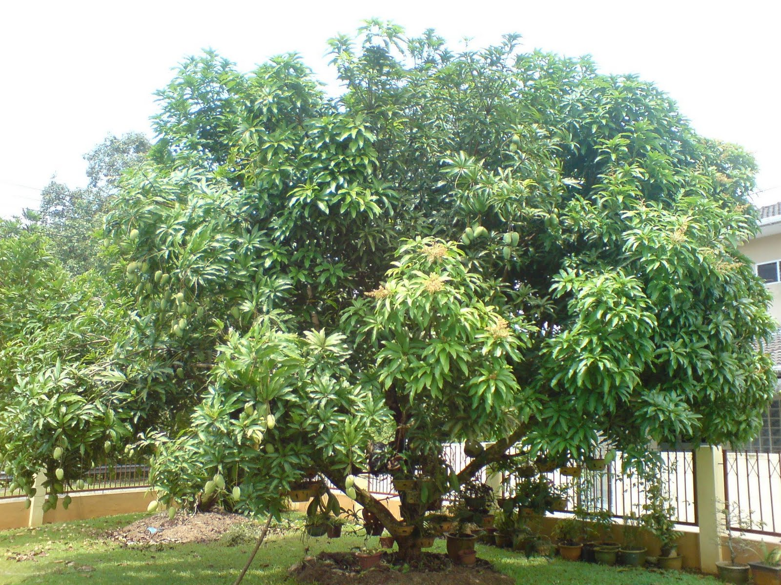 tree mangifera indica mango tree mangifera indica mango tree mangifera