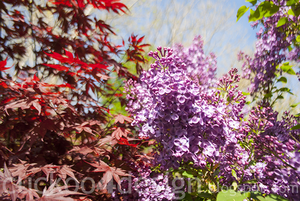 purple lilac bush and red maple tree