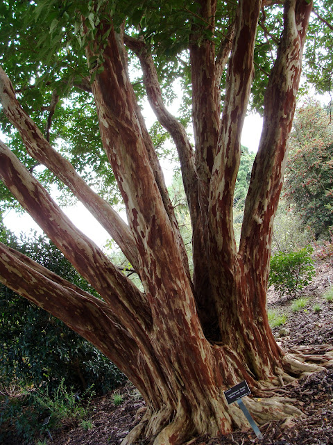 red and cream colored bark of a crepe myrtle tree in arboretum