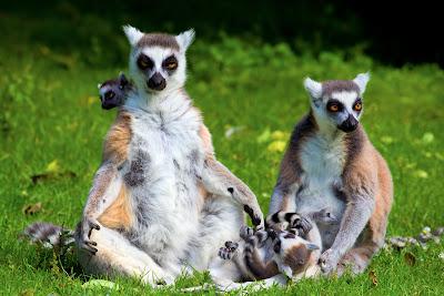 Lémures en su hábitat natural