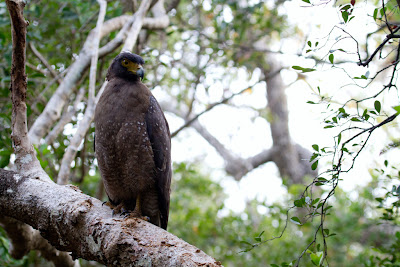 A Photograph of a Crested Serpent Eagle taken in Wilpattu, Sri Lanka