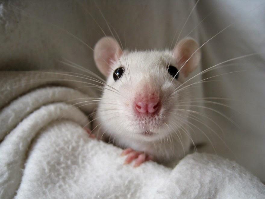rato braco