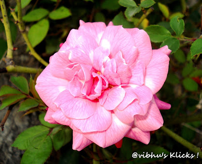 Pink beauty ~ A Beautiful Pink Rose - Closeup Shot