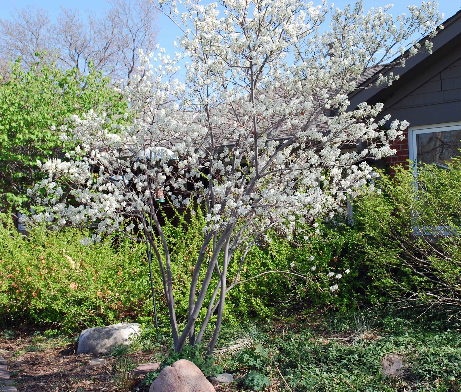 The art garden where are the bees for Serviceberry tree