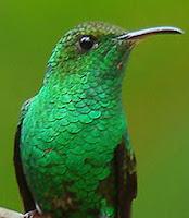 Colibri esmeralda hondureño