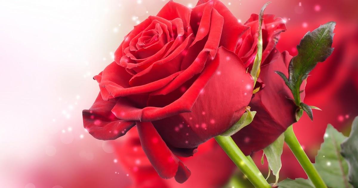 close up foto van rode rozen
