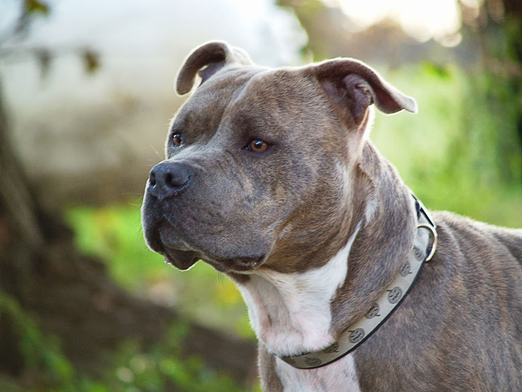 Pit Bull Dogs Wallpapers: PitBull dog breed Wallpapers