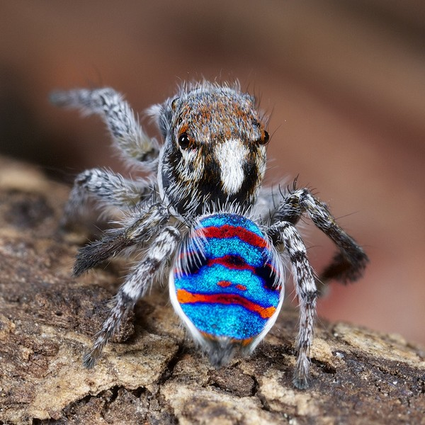 Beautiful Photos Of Australian Peacock Spider