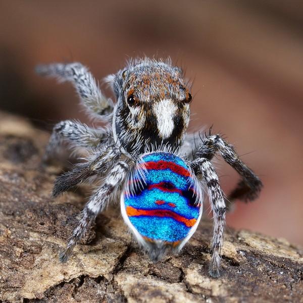 Beautiful Photos Of Australian Peacock Spider