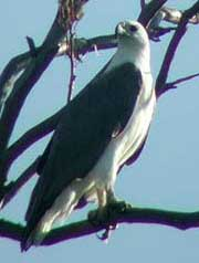 Foto Burung Elang Laut (White Bellied Sea Eagle)