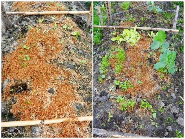 primeras plantas en germinar - Chacra Educativa Santa Lucía