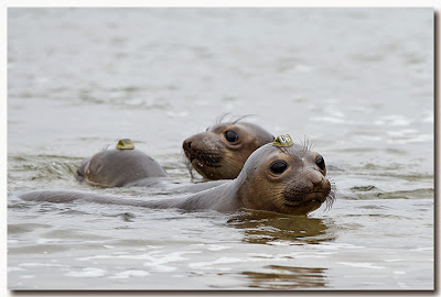 Northern Elephant Seal pups in the water