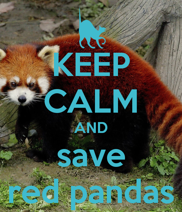the not so red panda Red pandas questions including how do you get to  red panda's do not eat large  martens eat red pandas what im trying to know is how thier so small and red.