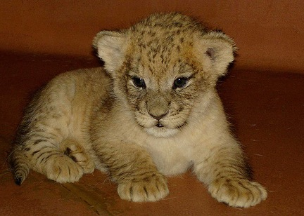 Cutest lion in the world - photo#8