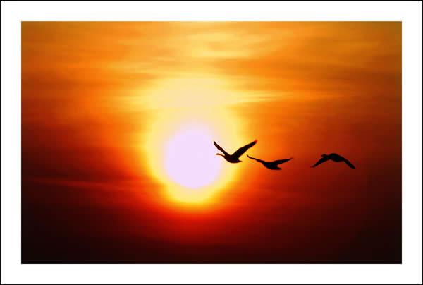 اشْرَاقَة شَمْس دَقَات قَلْب Geese+at+Sunrise