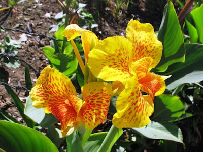 Bunga Tercantik di Dunia-Cannaceae