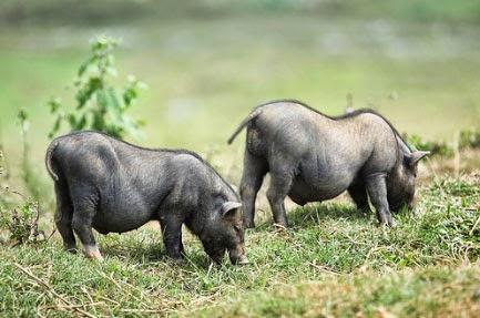 Cung cấp thịt lợn Mán