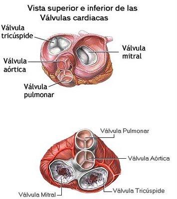 Anatomía Del Corazon: Pilares Del Corazon