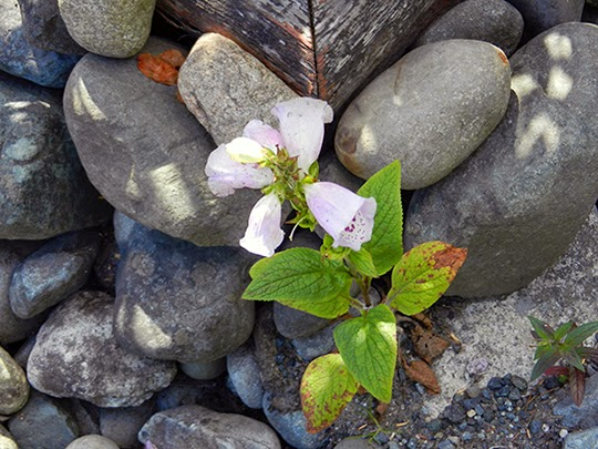 Flowering amidst the rocks