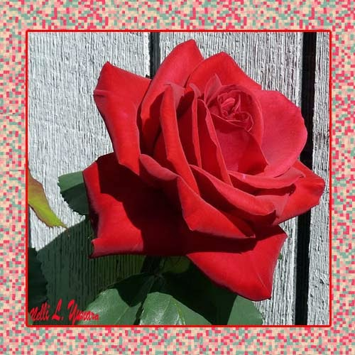 Red Rose for U