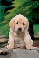 labrador puppy training tips