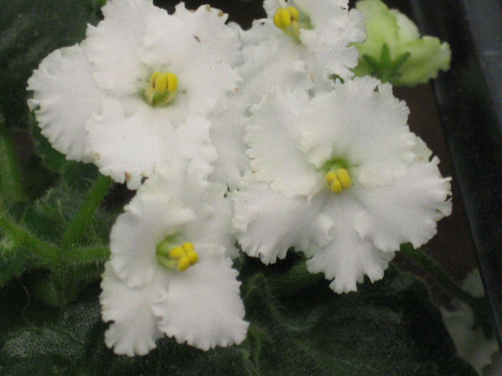Shanti's African violets: Featured violet: Snow Leopard ...