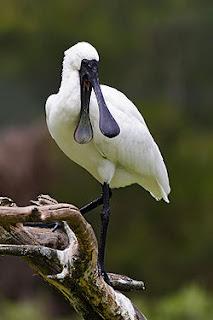 espátula (ave)