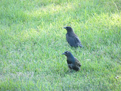 juvenile grackle and parent