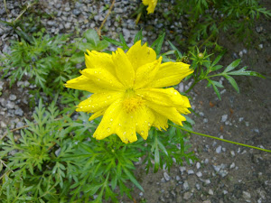 Bunga Taik Ayam