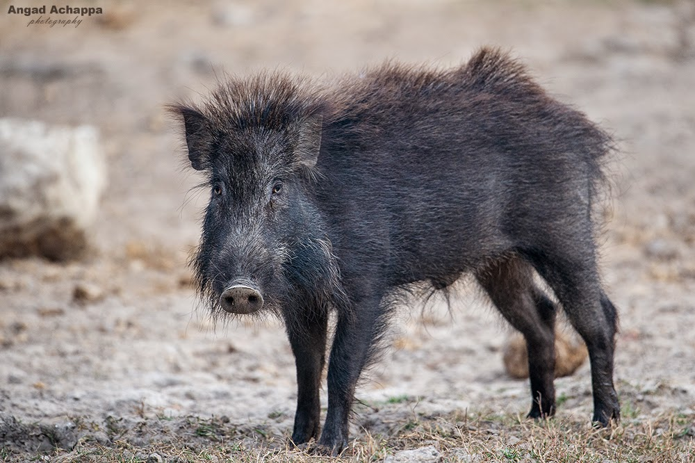 wild boar, wild pig, pig,Bandipur, Bandipur National Park, Karnataka, India, Wildlife Photography, Indian Wildlife, top indian wildlife photographers, top indian photographers
